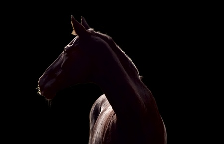 Silhouette of beautiful horse against the black background