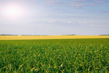 Photo pour Corn and wheat field: rural landscape and farming concept. - image libre de droit