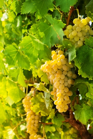 closeup of ripe juicy white grape hanging on vine