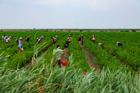 Photo pour seasonal agricultural workers in field. - image libre de droit
