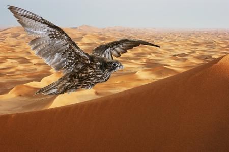falcon soaring over sand dunes in the Arabian desert at sunset