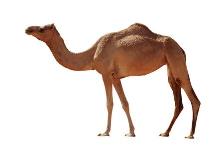 Photo pour Arabian Camel isolated on white background - image libre de droit