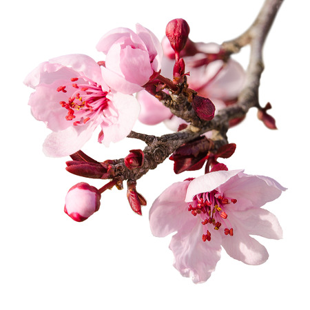 Branch of spring plum blossom with pink flowers and buds isolated on white