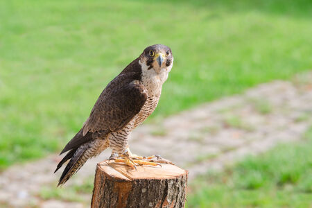 Tamed and trained for hunting fastest bird predator falcon or hawk perched on stump and staring into the camera lens