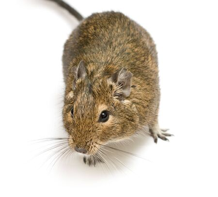 exotic rodent degu (african squirrel)