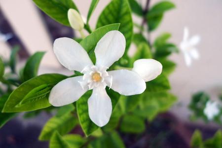 Cape jasmine(Garden gardenia, Gardenia jasminoides J.Ellis) on plant.