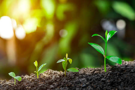 Photo pour Plant grow sequence and agriculture with morning sunlight and bokeh green blur background. Germinating seedling grow step sprout growing from seed. Nature ecology and growth concept with copy space. - image libre de droit