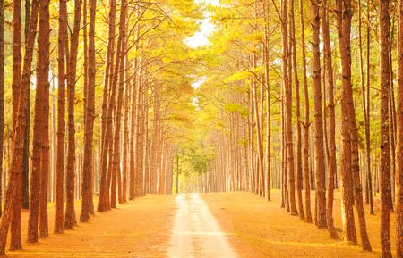 Fir Park Landscape in Thailand