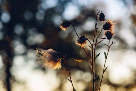 Photo pour Fluffy dry flowers in autumn sunset light - image libre de droit