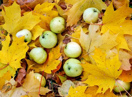 Apples on maple leaves, mellow autumn