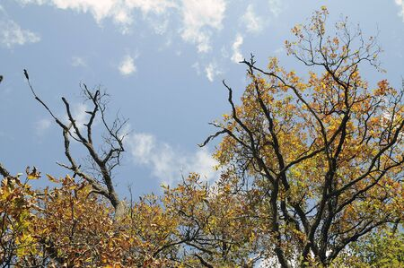 Branches of an oak against the sky in the autumn