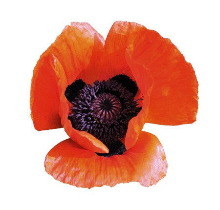 Flower of brightly red garden poppy isolated on a white background