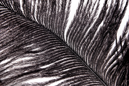 black feather plumage texture
