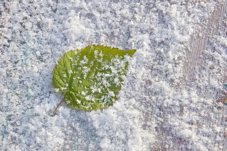 green raspberry leaf in snow freshness cold frosty background close-up