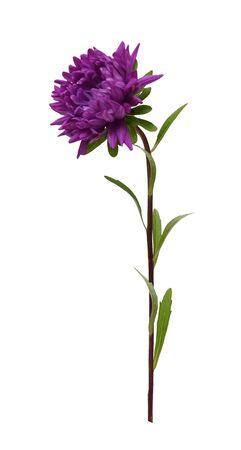 Foto für purple Aster isolated on white background sideways closeup - Lizenzfreies Bild
