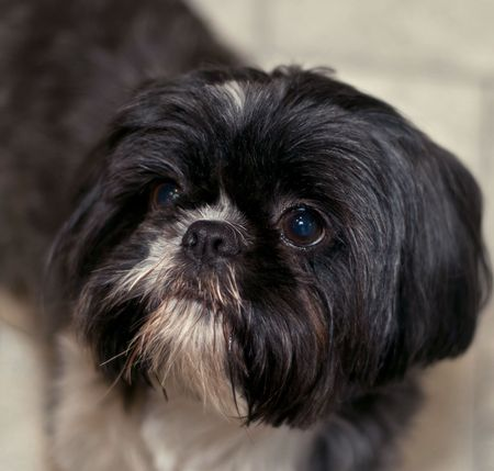 Portrait of a black and white shih tzu dog indoors