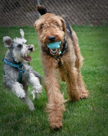 Miniature schnauzer and airedale terrier jump and play outdoors