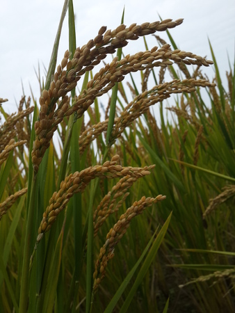 Shanghai Qingpu rice is gratifying, a bumper harvest in sight.