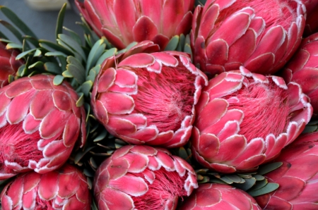King Protea Blooms