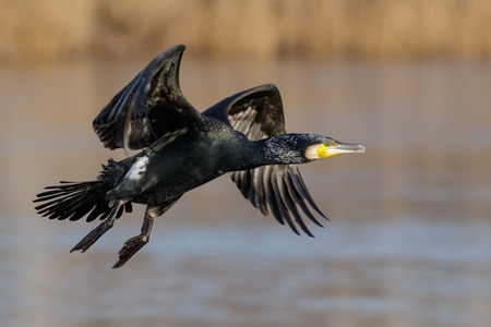 Great Cormorant (Phalacrocorax carbo) taking off against a reedbed and wetland background.