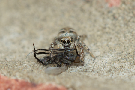 Zebra spider (Salticus scenicus) sucking the life out of its Housefly prey.