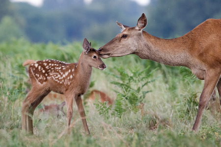 Foto de Red deer (Cervus elaphus) female hind mother and young baby calf having a tender bonding moment - Imagen libre de derechos