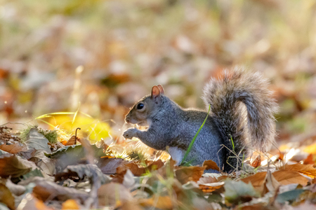 Photo pour Grey or Gray Squirrel (Sciurus carolinensis) foraging for Sweet Chestnuts, in an autumn wood - image libre de droit