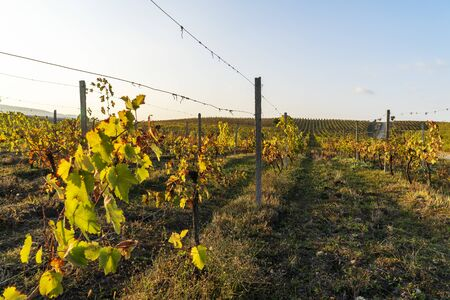Azerbaijan, Way alongside ripely vine plants in a vineyard in autumn harvest season