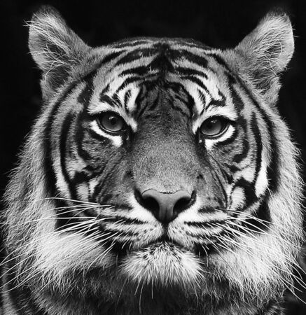 Photo for Black and white portrait of a beautiful Siberian tiger with high contrast - Royalty Free Image