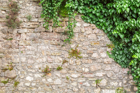 Photo for Old stone wall with ivy as background - Royalty Free Image