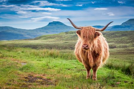 Grazing highland cow in Isle of Skye, Scotland