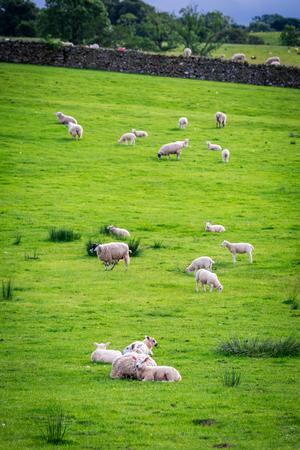 Photo pour Green pasture full of sheep, Lake District, England - image libre de droit