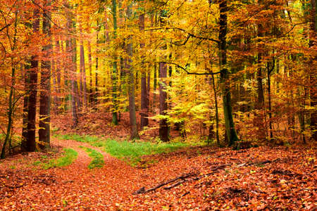 Photo pour Gold and brown path in the forest at autumn, Poland - image libre de droit
