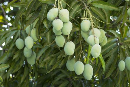 bunches of green unripe Mangifera mango fruits hanging from lush tree