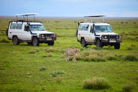 Game drive. Safari cars on game drive with cheetah in front of cars
