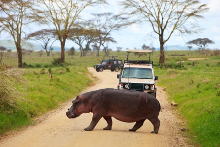 Game drive. Safari cars on game drive with hippo crossing road