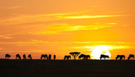 Silhouettes of wildebeests and acacia tree on sunrise in Serengeti national park, Tanzania