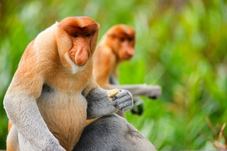 Proboscis monkeys endemic of Borneo island in Malaysia