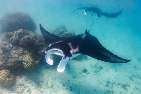 Photo pour Manta ray swimming in the ocean in French Polynesia - image libre de droit