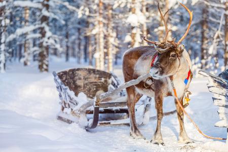 Foto de Reindeers in a winter forest in Finnish Lapland - Imagen libre de derechos