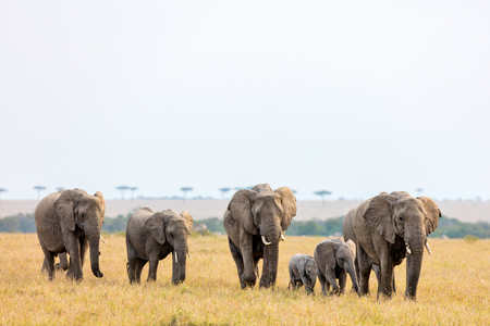 Photo for Elephants in safari park in Kenya Africa - Royalty Free Image