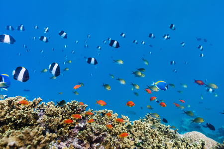 Photo pour Beautiful colorful coral reef and tropical fish underwater in Maldives - image libre de droit