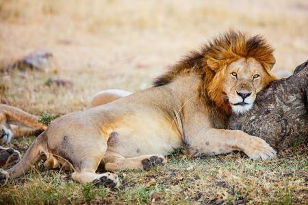 Foto de Male lion lying in grass in savanna in Africa - Imagen libre de derechos
