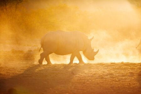 Photo for White rhino in a beautiful sunset light in Namibia park - Royalty Free Image