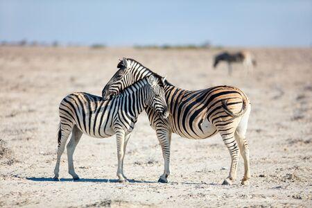 Photo pour Close up of zebras herd on the vast open plains of Etosha Namibia - image libre de droit