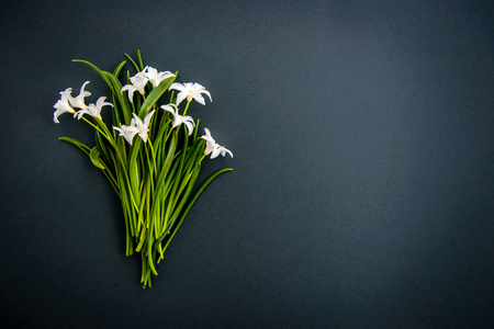 Photo for Small white spring flowers Chionodoxa on a dark green background with copy space - Royalty Free Image