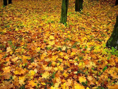Maple sheet