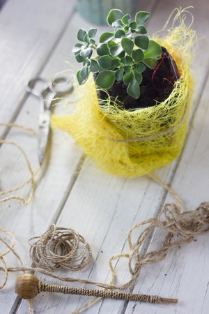 Aichryson succulent plant in a yellow pot - home plant