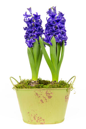 Blossoms of blue hyacinths in spring