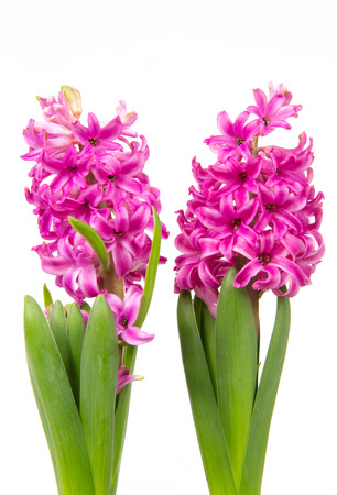 Blossoms of pink hyacinths in spring